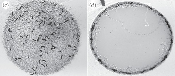 What clumping/bordering of  Pristionchus pacificus  nematodes looks like on an agar plate (RHS) compared to normal foraging behaviour (LHS). Figure 1 in  article .