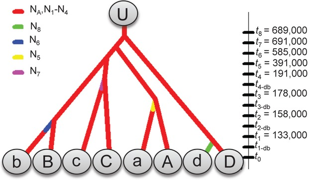 Model of the most likely lineage diversification / island colonisation scenario for genetic lineages of  Pristionchus pacificus , based on ABC modelling with STR and mt markers. Figure 3 in  article .