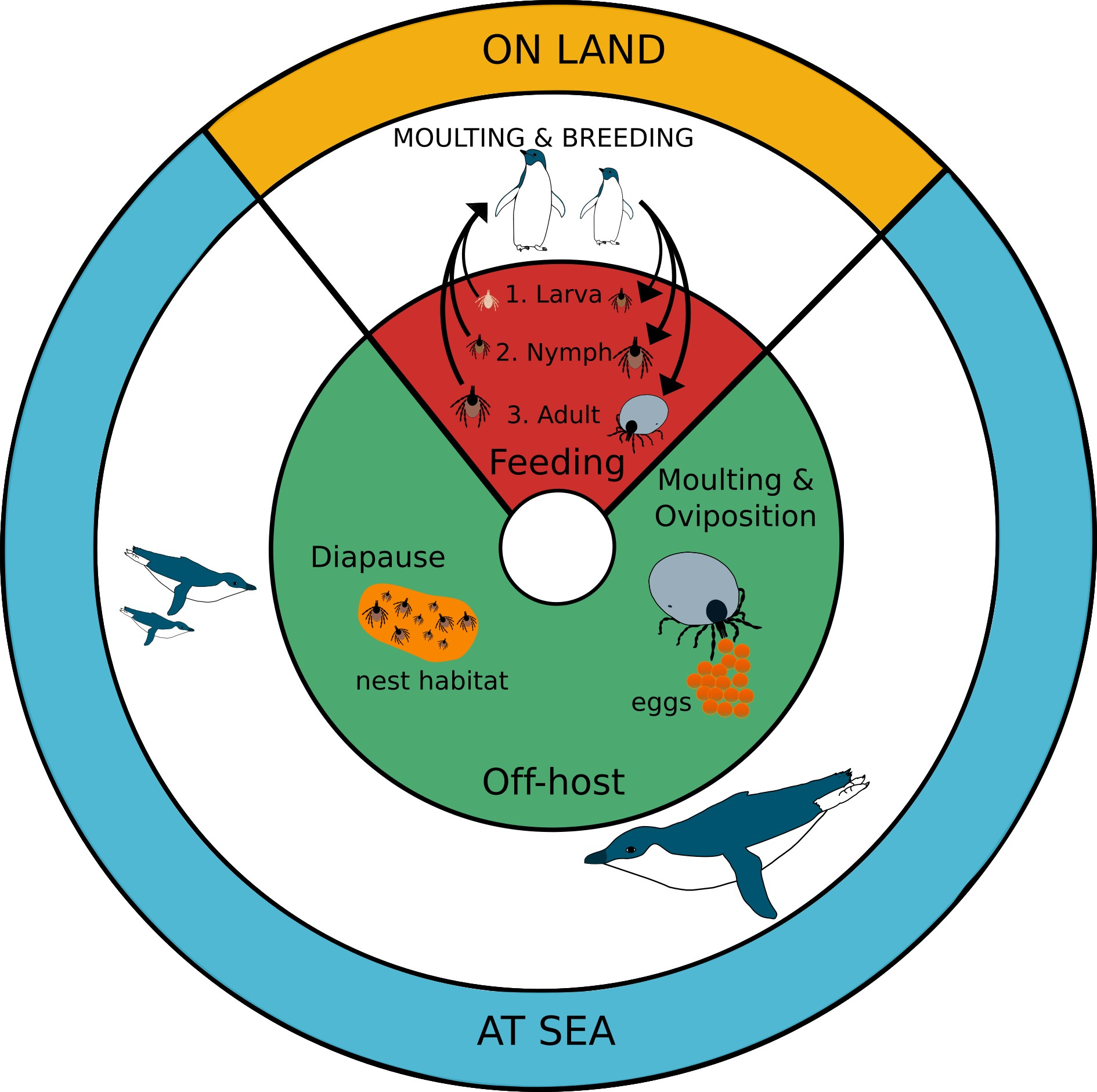Relationship between penguin and tick life cycles. Figure 1 in the  article .