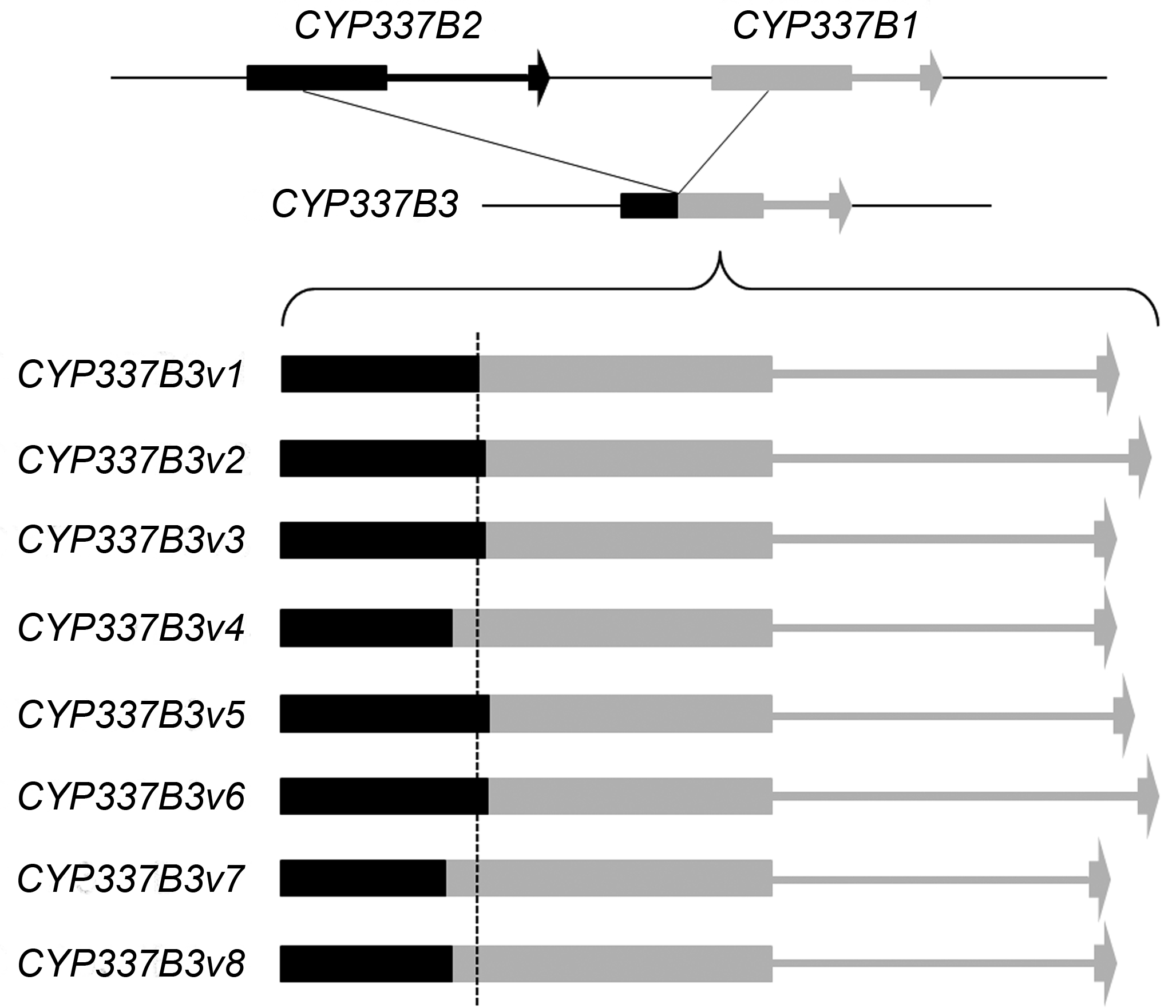 Schematic of different crossing-over points, resulting in eight alleles, for the chimeric cytochrome P450 gene. Figure 4 in the  article .
