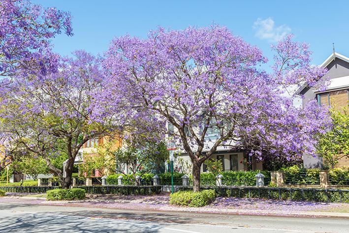 Jacaranda Trees in Subiaco Perth