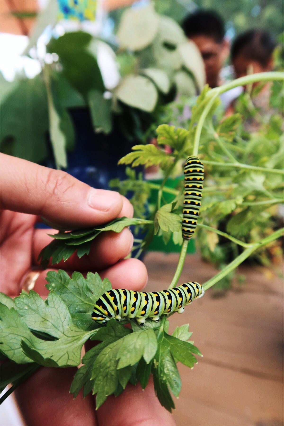 毛毛蟲   Caterpillars