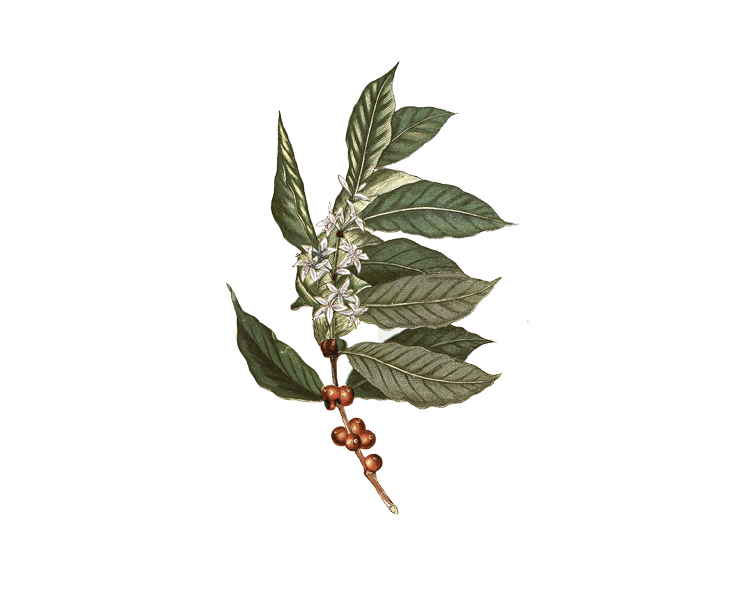 Coffea Arabica:  Arabica coffee is believed to have first been cultivated in North Africa and the Middle East before the 12th Century. It spread to Colombia and South America in 1790.