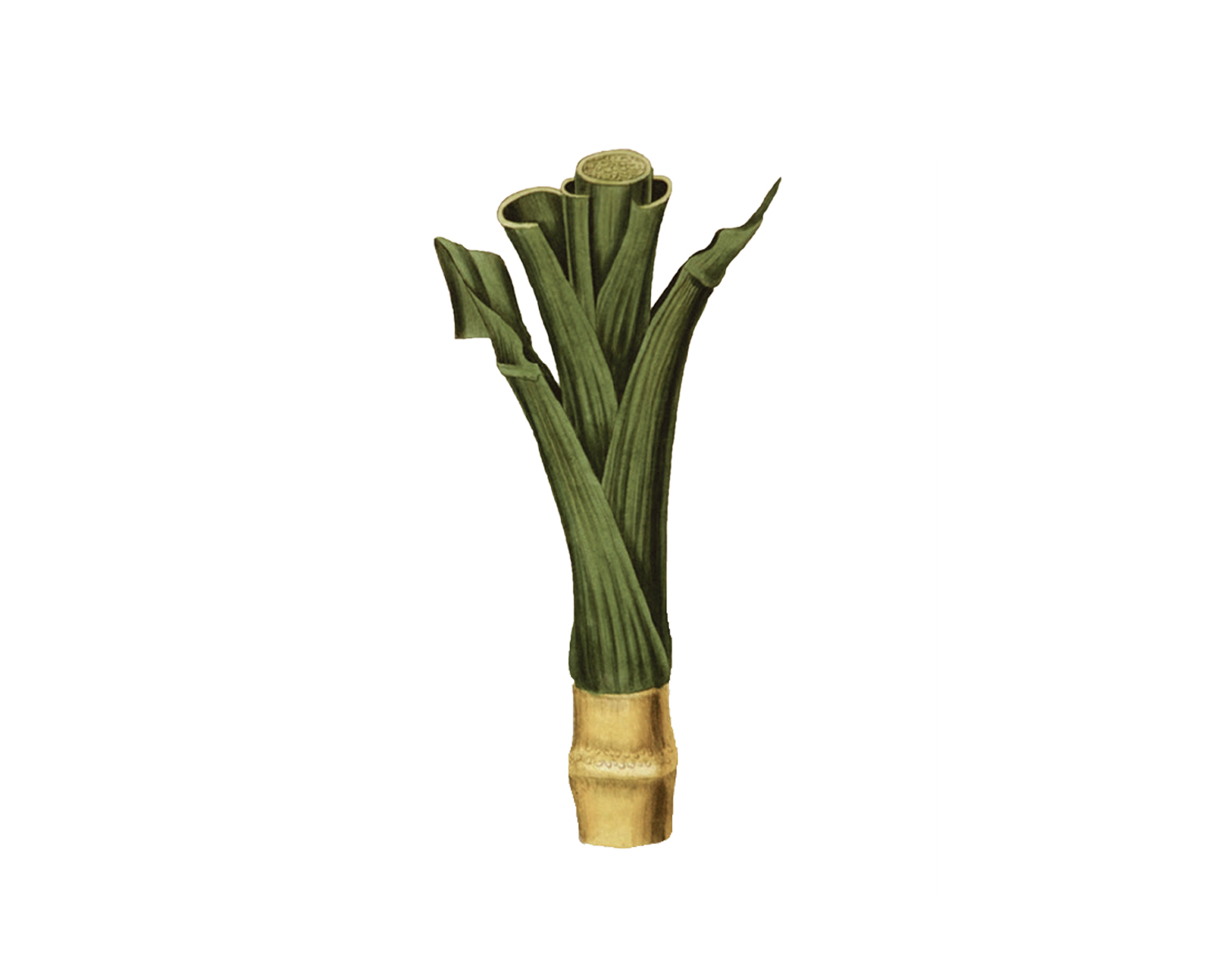 Saccharum O fficinarum  : The juice of the sugarcane was first extracted and concentrated in India 2,000 years ago. It was brought to the Americas by the Spaniards in the 17th Century.