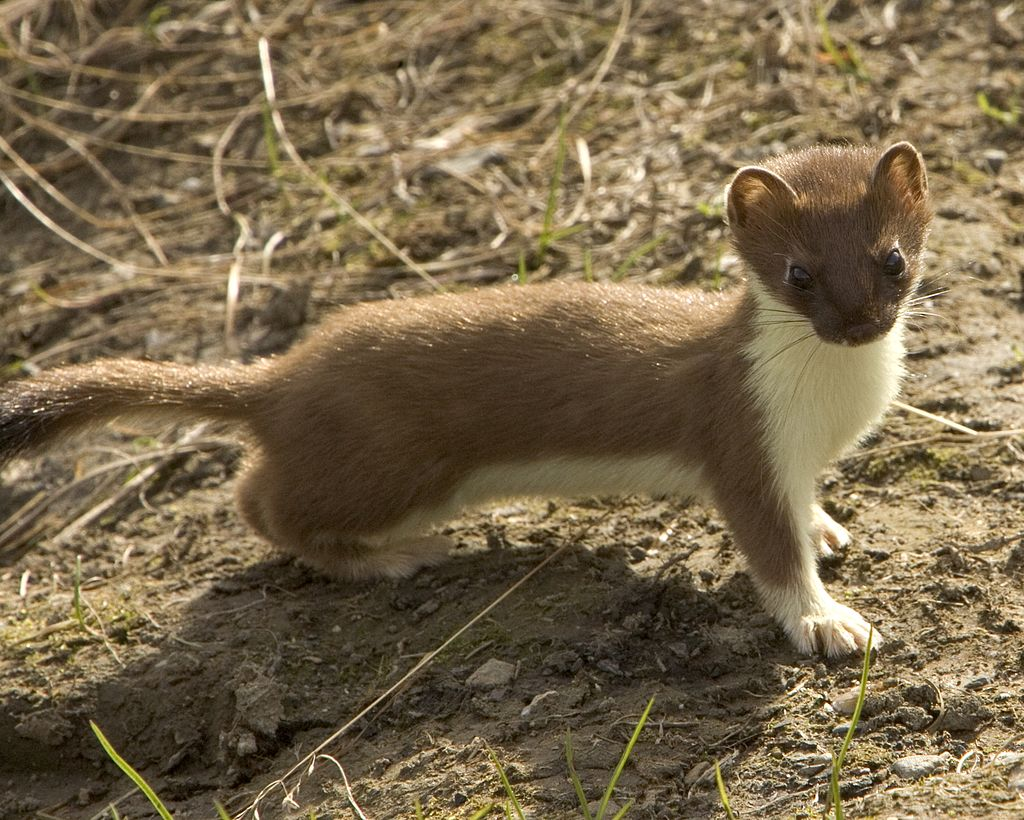 Stoat (mustela erminea). Creative Commons