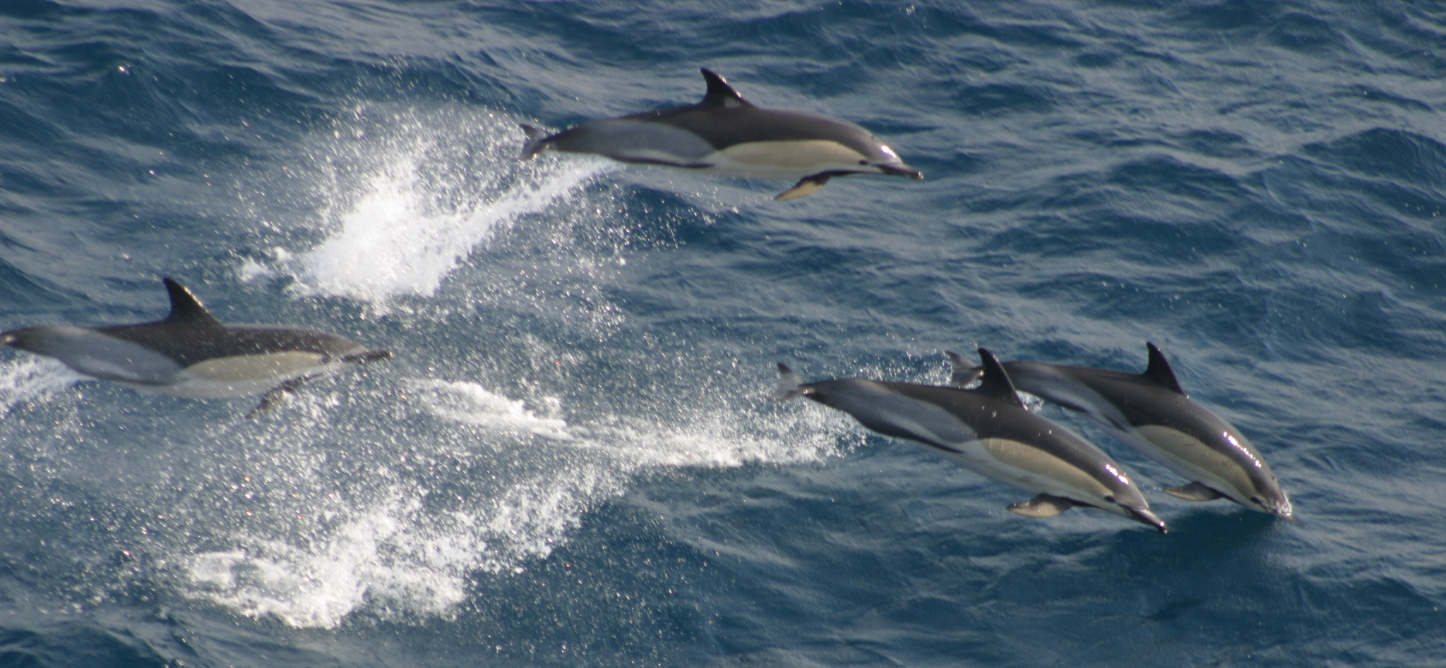 Common Dolphins © Dylan Walker