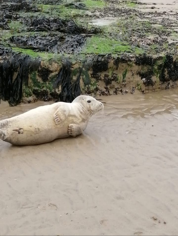 Juvenile Grey Seal, Bexhill © Thea Taylor