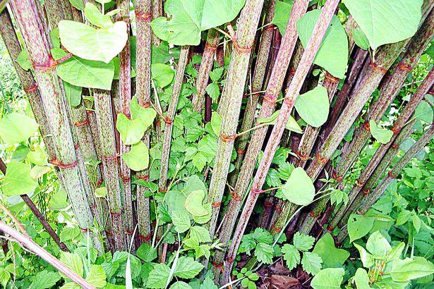 Fallopia-japonica-Staude.jpg