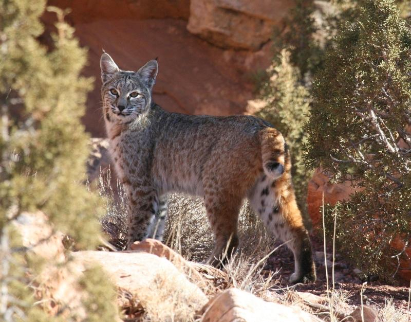 Bobcat ( Lynx rufus ) in Southern California.   Photo: US Geological Survey