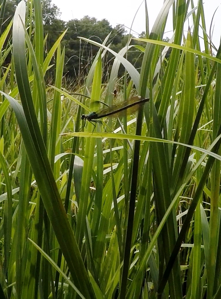 Libelle am Rhin.jpg