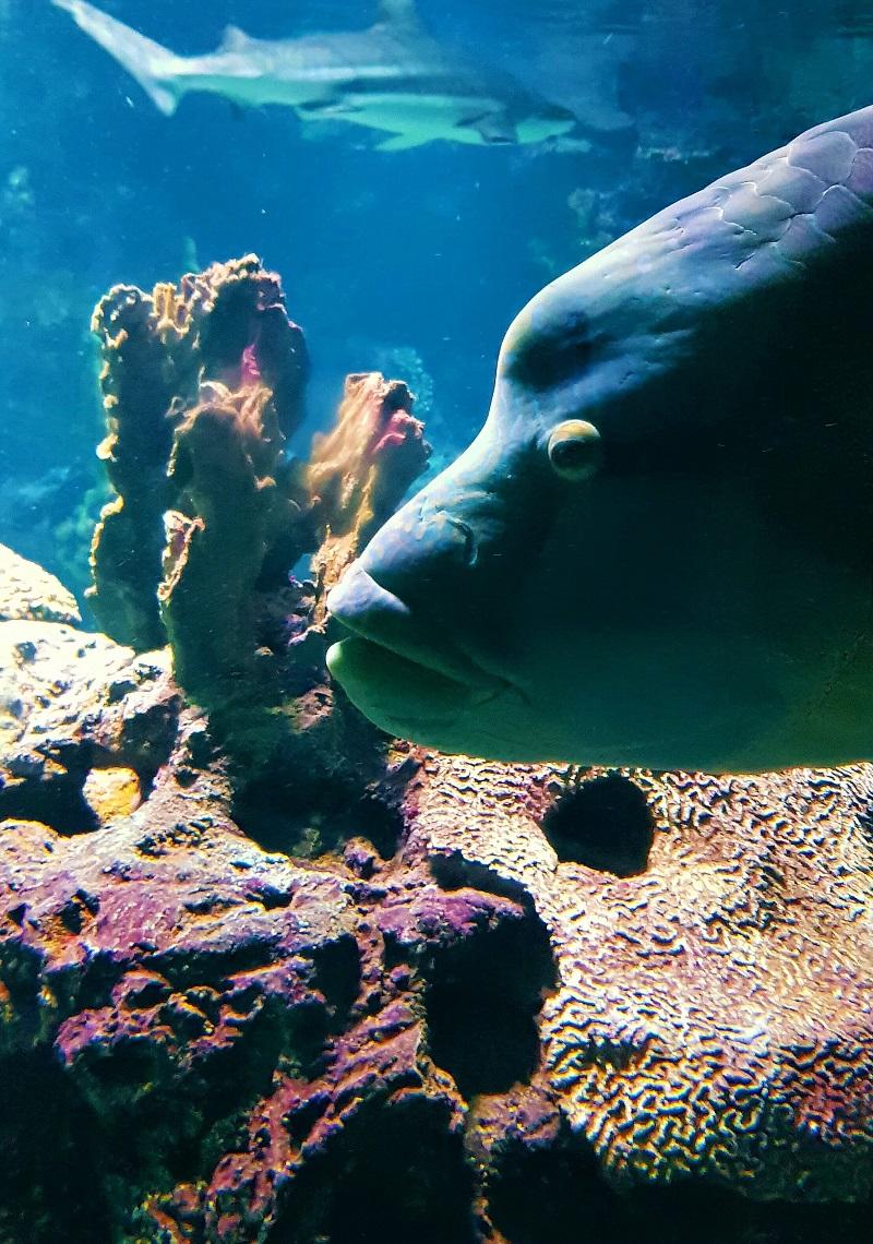Napoleonfisch.jpg