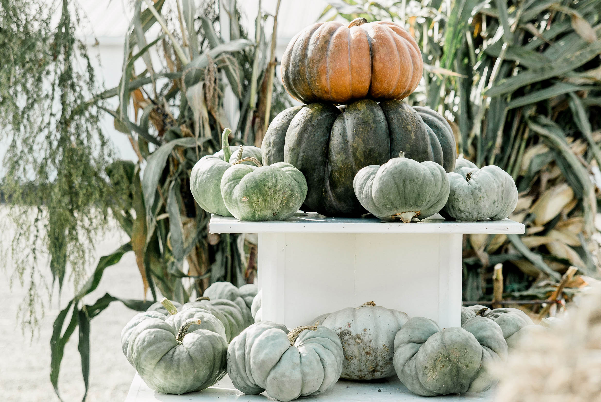 HEIRLOOM PUMPKINS - Our first harvest of Heirloom Pumpkins was a dream come true in 2018. From start to finish, our pumpkins are hand planted, hand picked and raised as naturally as possible.
