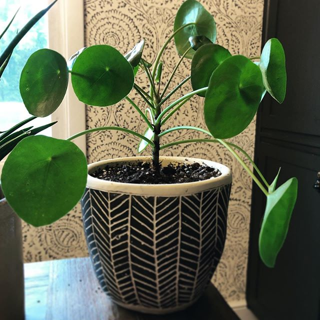Mama Pilea. We brought her home around Christmastime and she's already given us 6 babies! They are such a fun houseplant to grow.