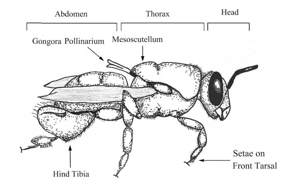 A generalized line drawing of a male euglossine bee of the genus Euglossa. During pollination, the pollinarium becomes attached to the underside of the mesocutellum. From Hetherington-Rauth & Ramirez (2015).  Ann. Missouri Bot. Gard.