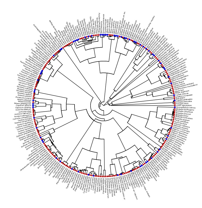 Phylogeny of island endemic species and their closest extant mainland congener. I am examining over 150 island-mainland taxa pairs representing over 60 taxonomic families from across the angiosperm tree. Blue tips indicate endemic island species and red tips indicate mainland congeners.