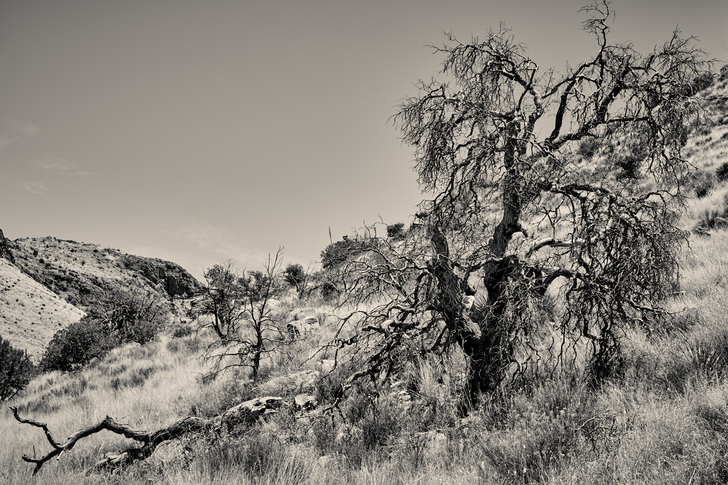 tree in Chiricahua