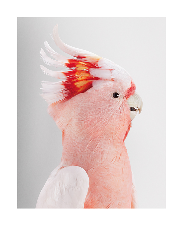 Wild Cockatoos - Exhibited 2012