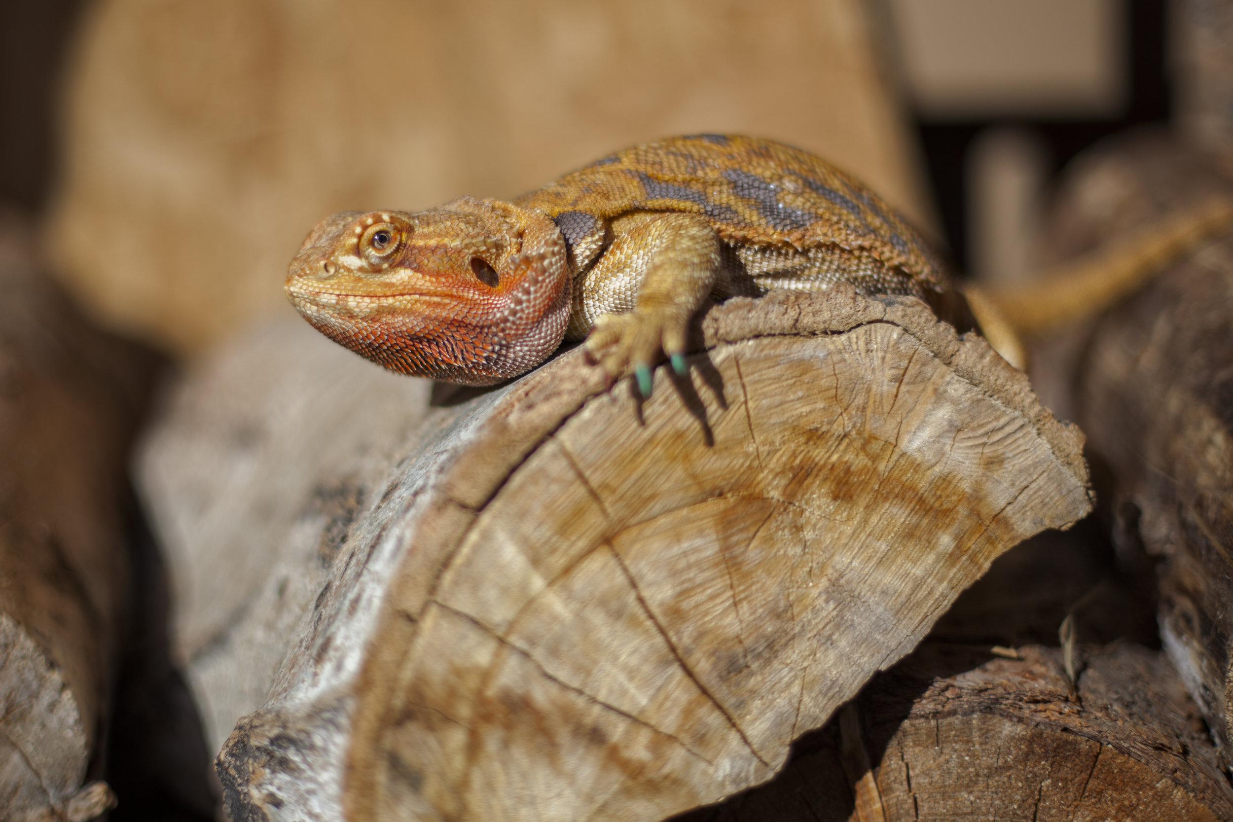 43-100 Lizard-1.jpg