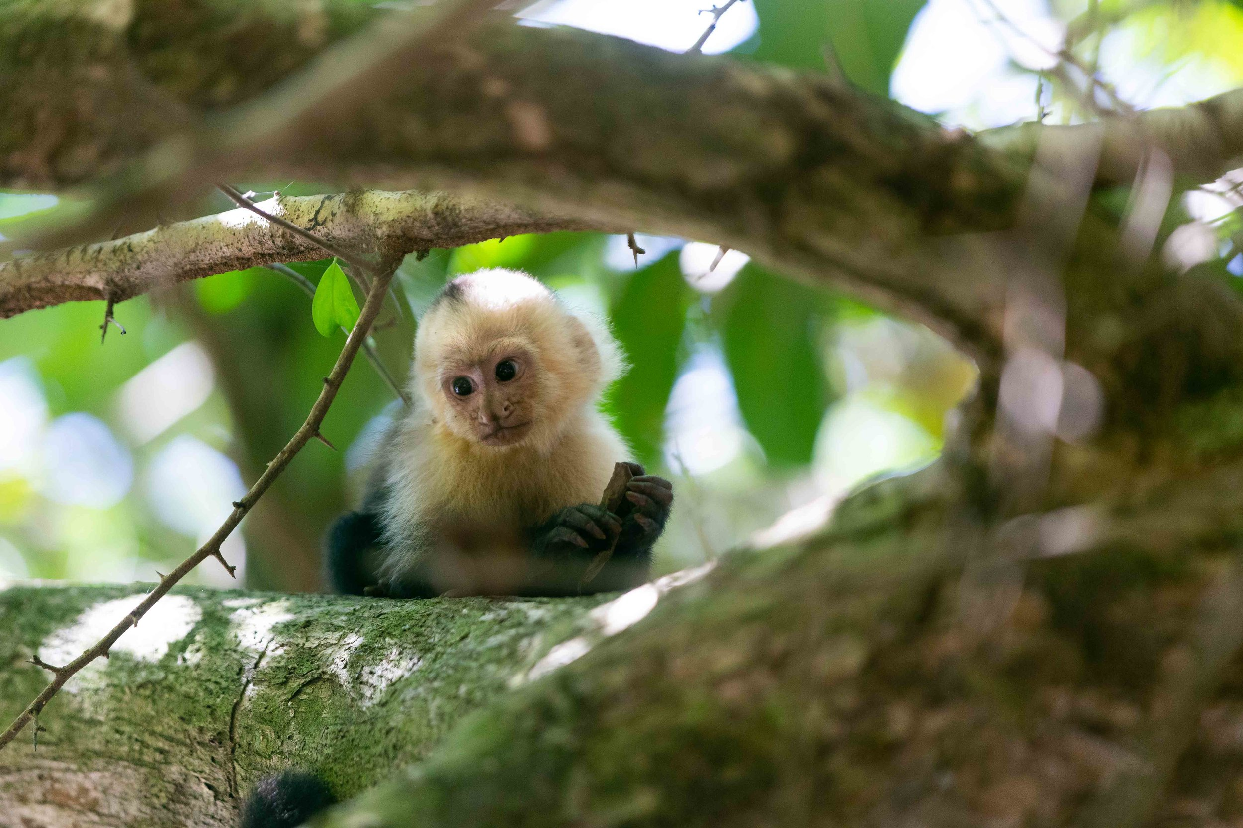 White-throated capuchin in Manuel Antonio National Park