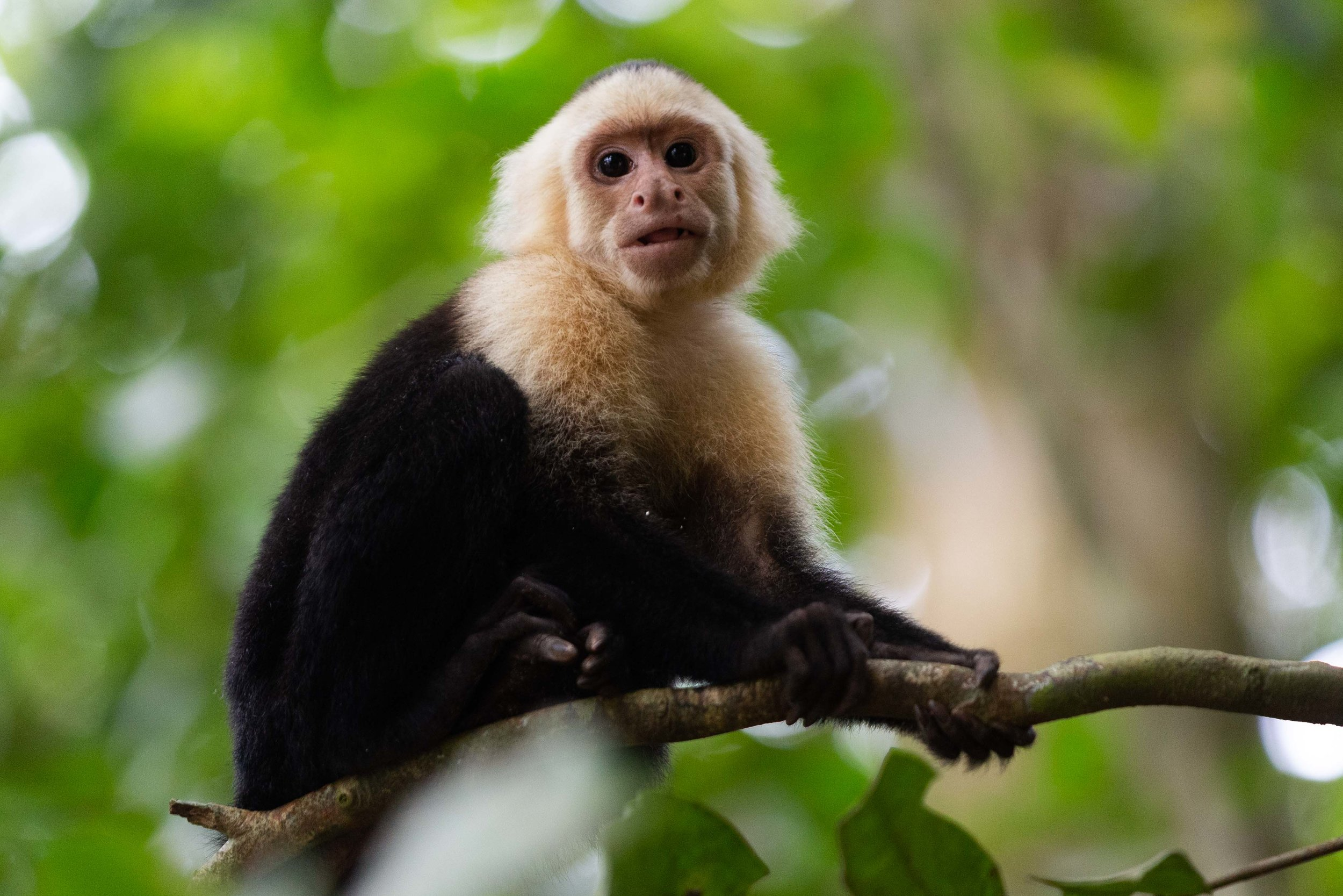 White-throated capuchin at Manuel Antonio National Park