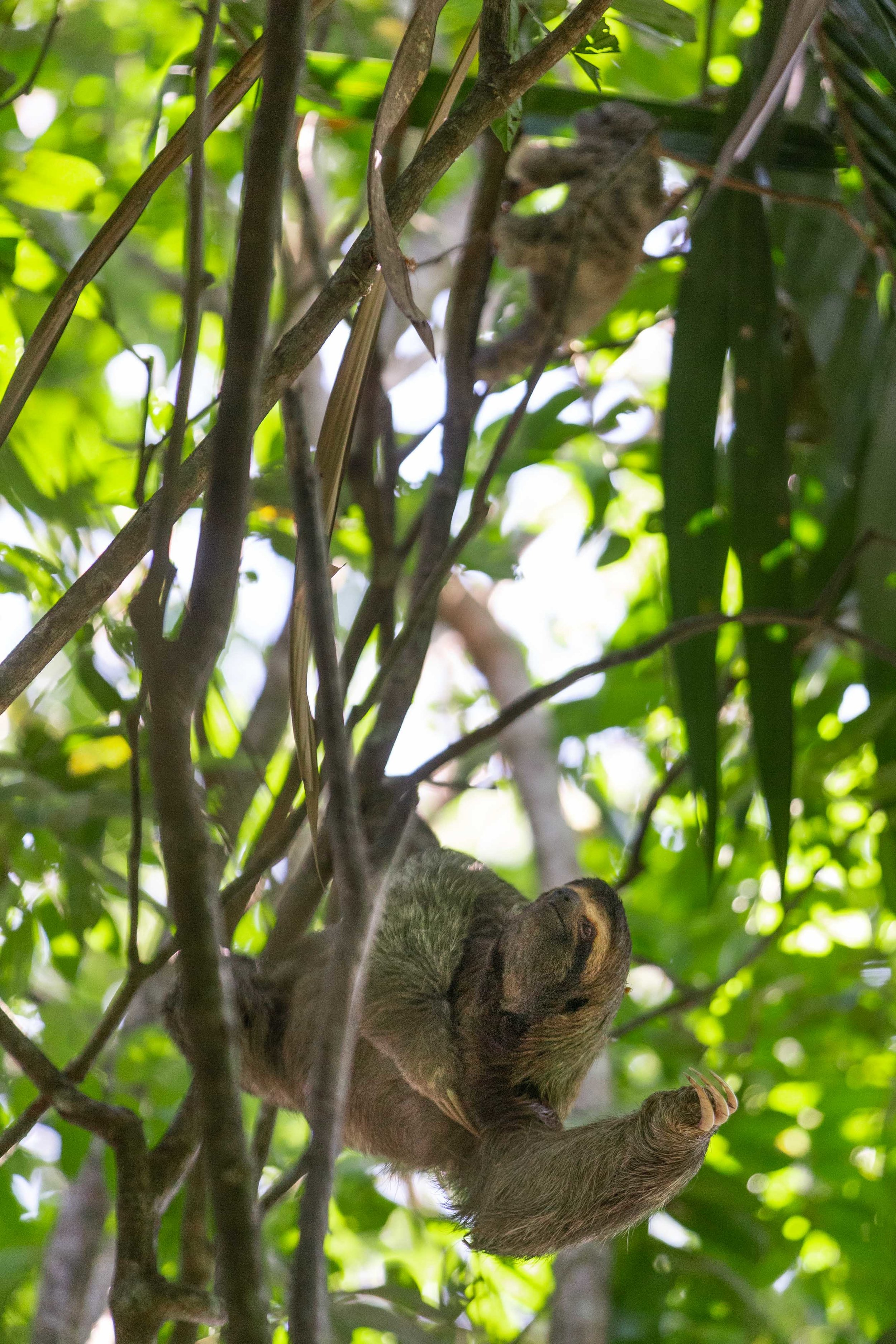 Three-toed sloth mother and baby at Manuel Antonio National Park