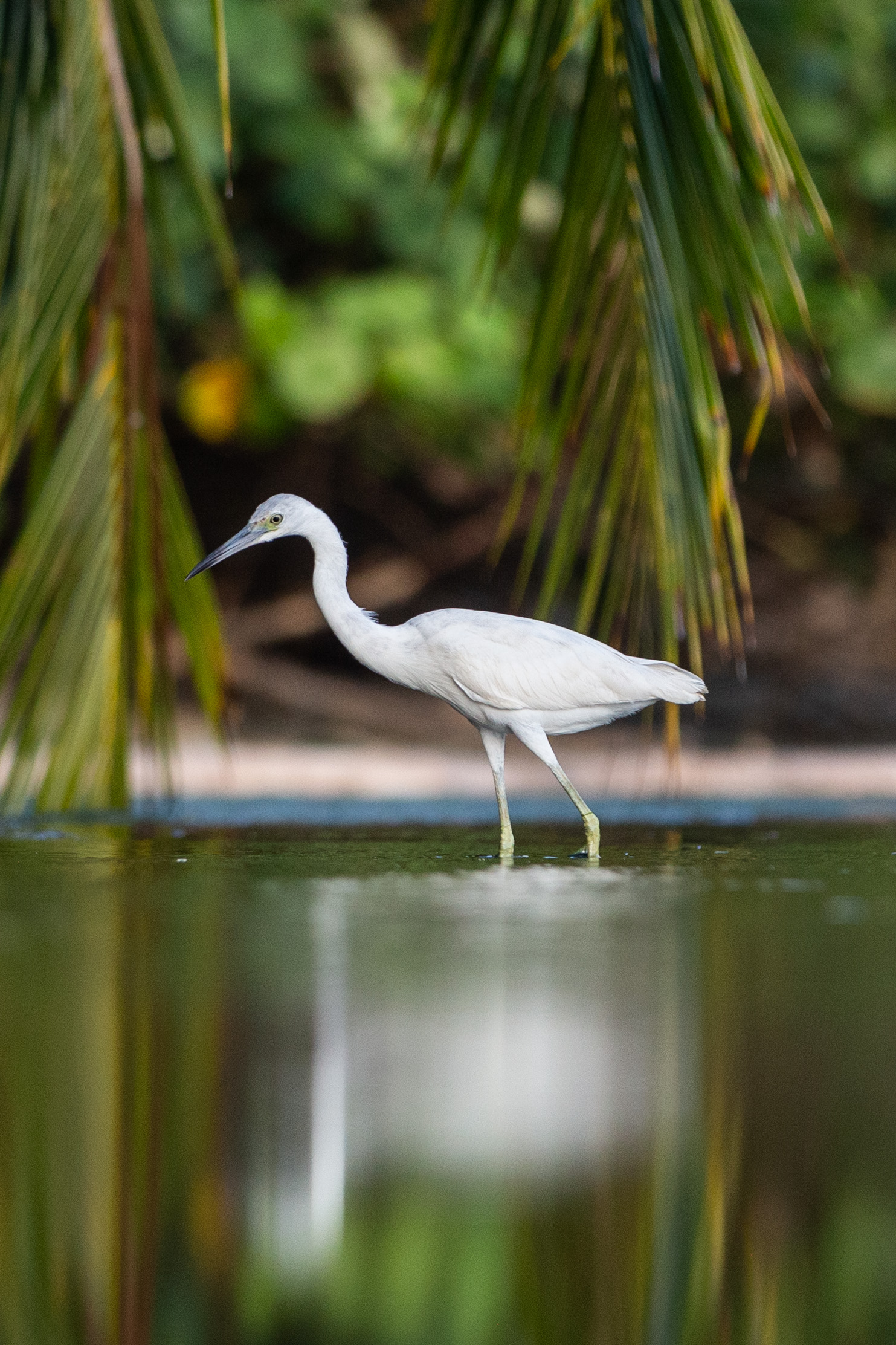 Snowy egret at Marino Bellena National Park
