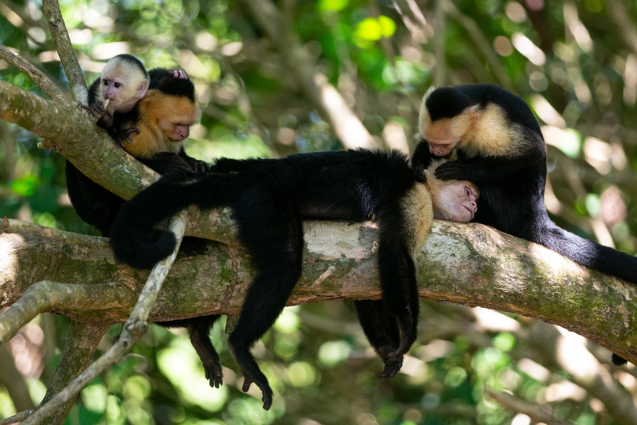 Family of white-throated capuchins at Manuel Antonio National Park