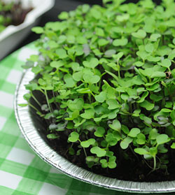 Sprout - Grow Your Own Microgreens