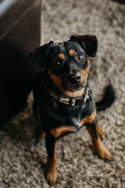 my doggo Otis - I own a pupper that will melt your eyes out. His name is Otis, the German Pinscher.