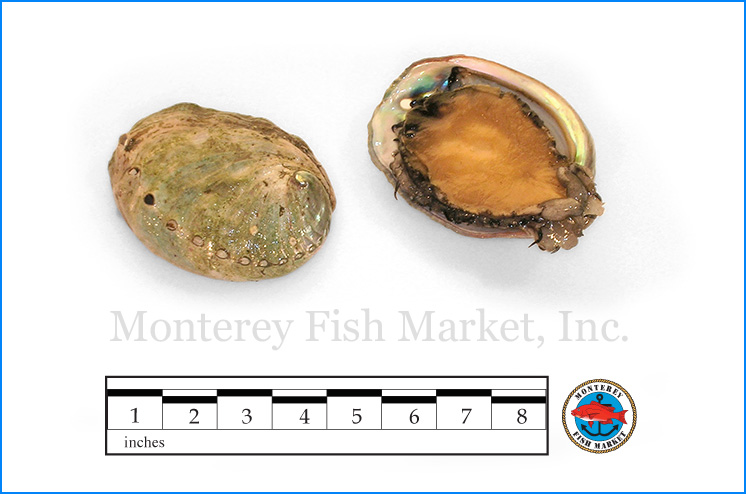 Monterey Fish Market Seafood Index photograph of Red Abalone , Haliotis rufescens