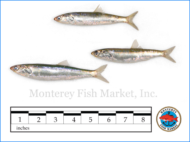 Monterey Fish Market Seafood Index photograph of Anchovy,  Engraulis mordax