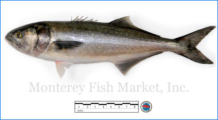 Monterey Fish Market Seafood Index photograph of Bluefish,  Pomatomus saltatrix
