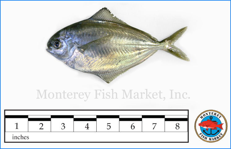 Monterey Fish Market Seafood Index photograph of Atlantic Butterfish,  Peprilus triacanthus