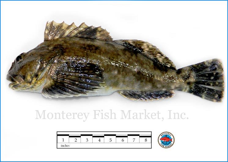 Monterey Fish Market Seafood Index photograph of Cabezon, Scorpaenichthys marmoratus