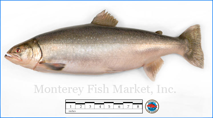 Monterey Fish Market Seafood Index photograph of Arctic Char, S alvelinus alpinus