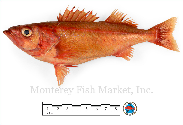Monterey Fish Market Seafood Index photograph of Chilipepper Rockfish,  Sebastes goodei