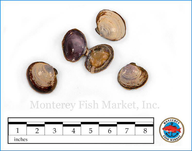 Monterey Fish Market Seafood Index photograph of Savory Clam,  Nuttallia obscurata  (Purple Varnish Clam)