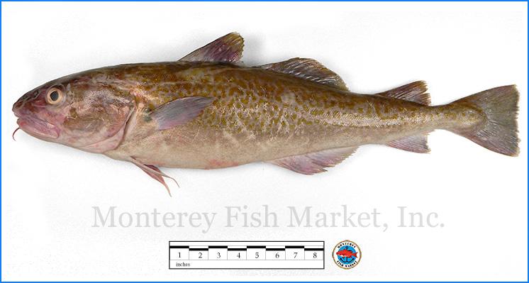 Monterey Fish Market Seafood Index photograph of True Cod, Gadus macrocephalus