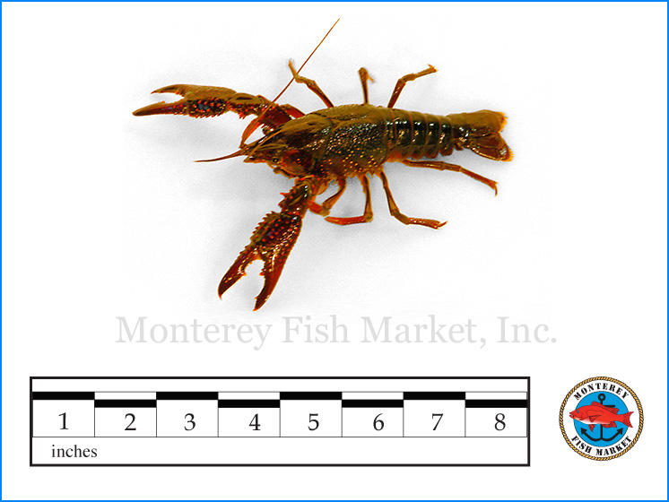 Monterey Fish Market Seafood Index photograph of Signal Crayfish,  Pacifastacus leniusculus