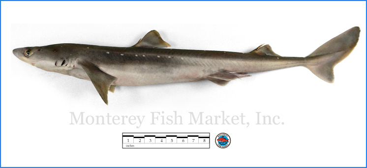 Monterey Fish Market Seafood Index photograph of Spiny Dogfish,  Squalus acanthias  (North Atlantic Cape Shark, Dogfish)