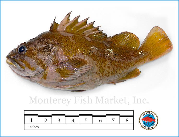 Monterey Fish Market Seafood Index photograph of Gopher Rockfish,  Sebastes carnatus