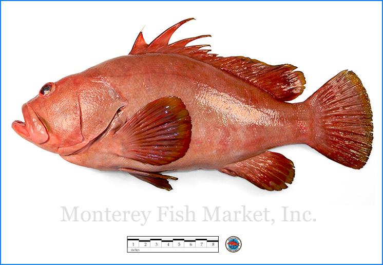 Monterey Fish Market Seafood Index photograph of Baqueta Grouper,  Epinephelus acanthistius