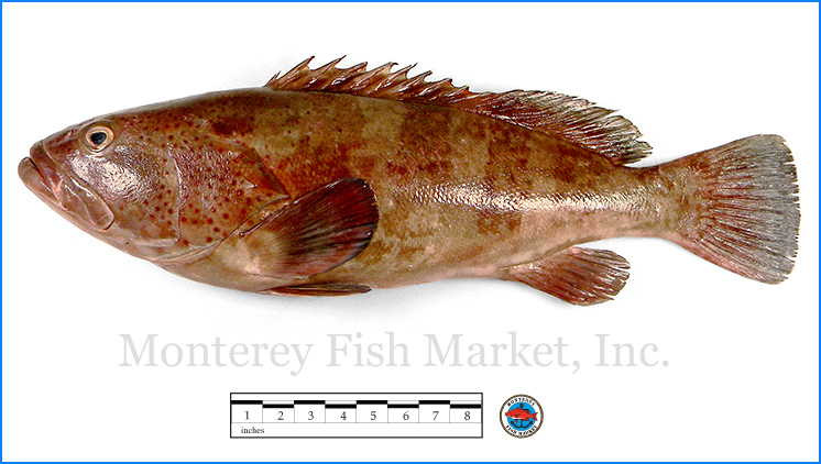 Monterey Fish Market Seafood Index photograph of Leopard Grouper,  Mycteroperca rosacea