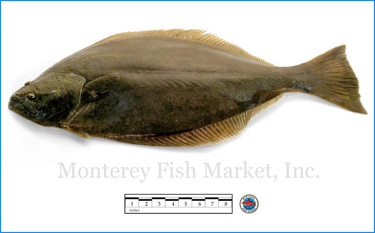 Monterey Fish Market Seafood Index photograph of California Halibut,  Paralichthys californicus