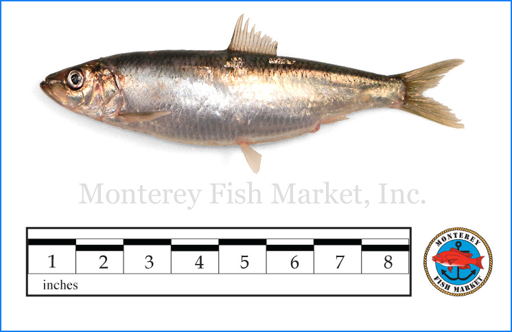 Monterey Fish Market Seafood Index photograph of Herring,  Clupea pallasii