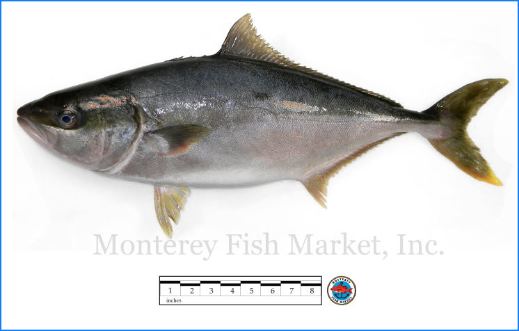 Monterey Fish Market Seafood Index photograph of Hiramasa,  Seriola lalandi  (Yellowtail Amberjack)