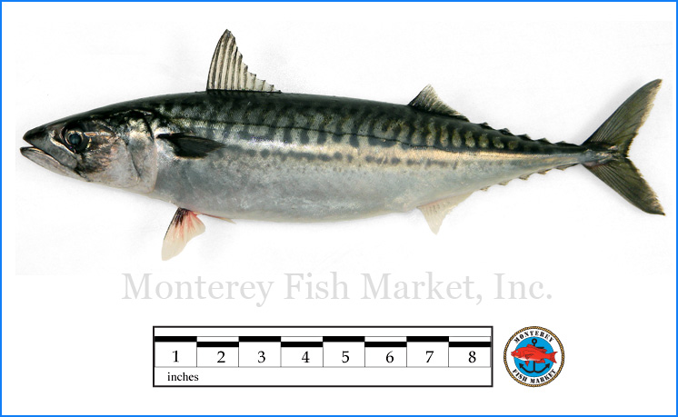 Monterey Fish Market Seafood Index photograph of Boston Mackerel,  Scomber scombrus
