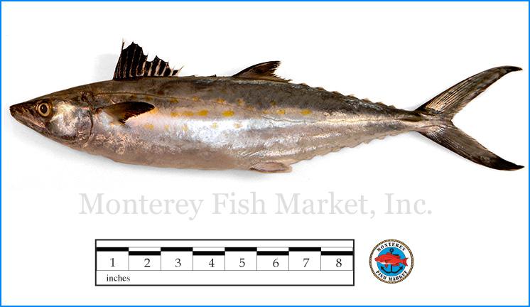 Monterey Fish Market Seafood Index photograph of Sierra Mackerel,  Scomberomorus maculatus
