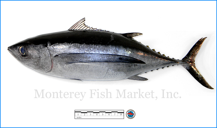 Monterey Fish Market Seafood Index photograph of Albacore,  Thunnus alalunga  (Tombo)