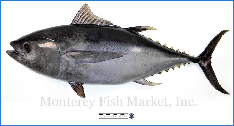 Monterey Fish Market Seafood Index photograph of Bigeye Tuna,  Thunnus obesus